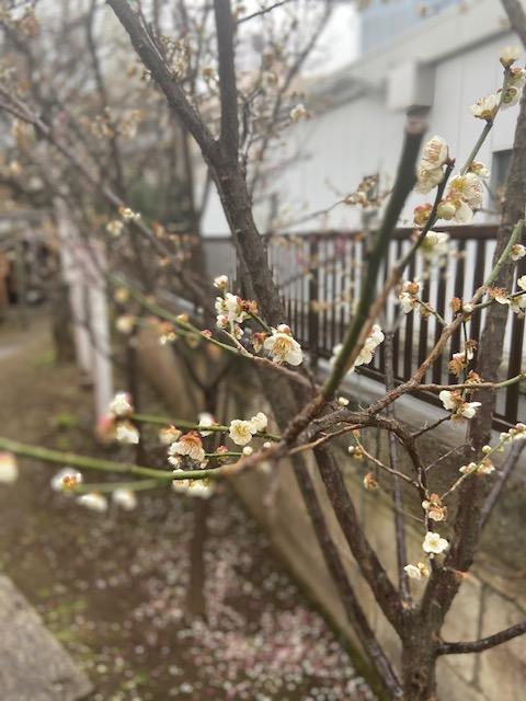 大宮倉屋敷稲荷神社 梅の花